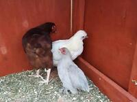 3 small hens for sale
