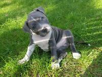 Blue Male Staffordshire Bull terrier pup