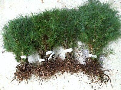 10 white pine starter trees 18 inch ...