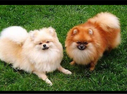 Wanted: Wanted pure breed male Pomeranian