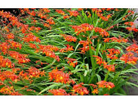 CROCOSMIA PLANTS (MONTBRETIA) TWO TONE