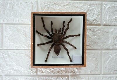 HUGE GIANT BIG BIRD EATING TARANTULA SPIDER TAXIDERMY IN FRAME INSECT HOME DECOR