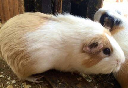 GUINEA PIGS - BE QUICK Malaga Swan Area Preview