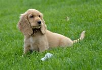 Femail Cocker Spaniel puppy wanted