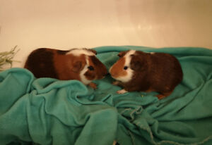 2 Male Guinea Pigs to Adopt **BRANDON MB CANNOT TRAVEL**