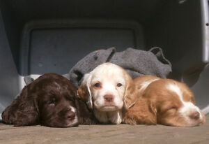 Field English Cocker Spaniel Puppies for Sale