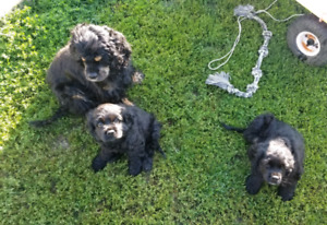 AMERICAN COCKER SPANIEL PUPPIES .. ready now 2 MALES LEFT! $750$
