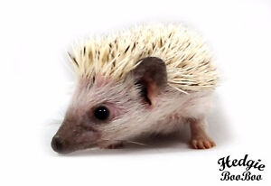 4 Months OLD BABY HEDGEHOGS PET! LAST ONE !
