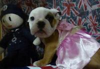 English Bulldog Beautiful Quality puppies. Ready to go!