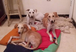 Saluki cross puppies needing foster or forever homes