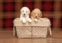 Adorable LABRADOODLE Puppies FOR SALE!