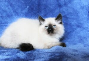 Sealpoint Ragdoll kittens are available for their new homes..