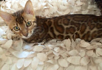 Chattons bengal top qualiter