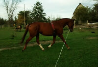 Showhorse looking for new home.