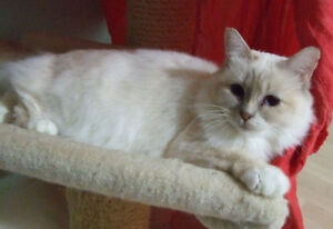 Retired Birman Lady looking for New Position