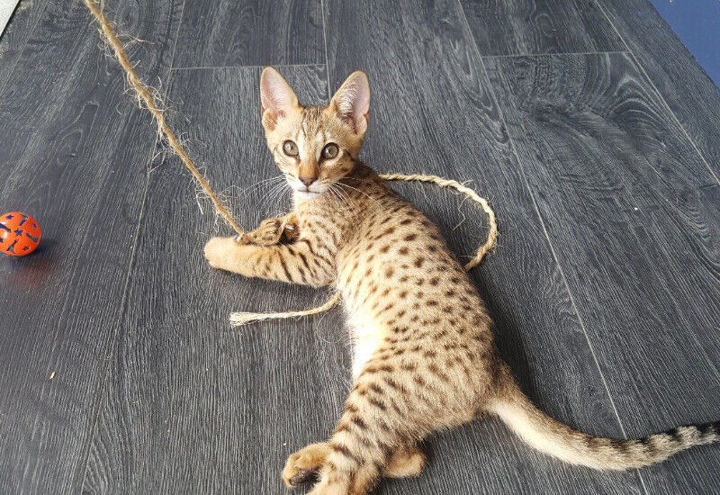 Golden Male F6 Savannah Kitten cat available similar to