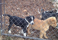 Puppies for Sale -2 puppies available