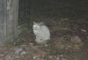 Found Cat - White Cat with Grey Ringed Tail Shorthair - Gender U