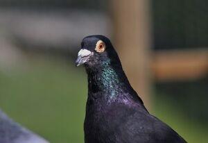 Beautiful homing pigeons