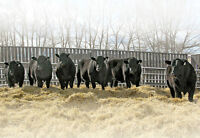 Registered Purebred Black Angus Yearling Bulls For Sale