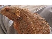 female bearded dragon 2years old