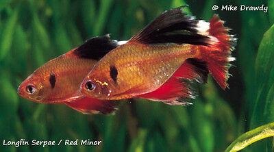 Long Fin Red Minor Serpae Tetras Live Tropical Community Aquarium Fish