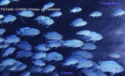 Cobalt Blues......+20 other African Cichlids direct from breeder Ormeau Gold Coast North Preview