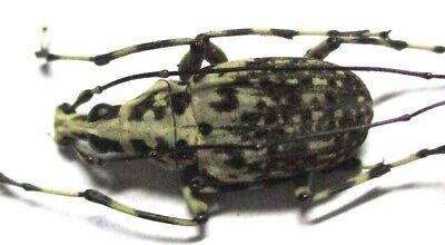 D026 Mi : DV : Anthribidae: Mecocerus basalis philippinensis male 21.5mm
