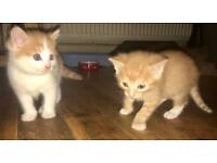 UPDATE: 2 Beautiful Kittens For Sale