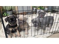 Don Frenchie's Ronnie & Hugo Bullz gigi pups