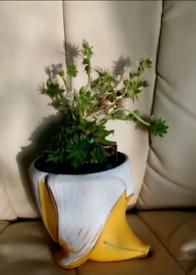 House leek plant in banana pot