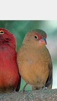 Wanted: African Fire Finch Female  Parkwood Canning Area Preview