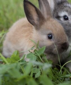 Adorable baby Dwarf bunny with cage!