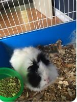 Cute guinea pig and accessories for sale!!
