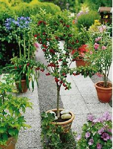 Pianta ciliegio nano albero da frutto frutti frutta in for Albero da frutto nano
