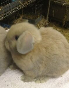 Baby Holland Lop Female