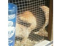 Male Rabbit and Hutch for sale
