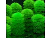Tropical freshwater Aquarium plants, variety- Cabomba, Wisteria and Java fern