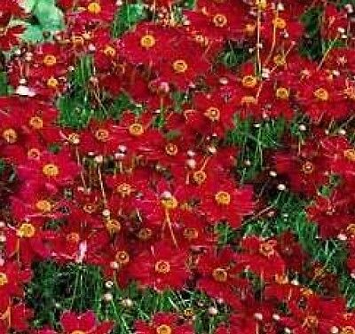 PLAINS COREOPSIS TALL RED FLOWER 100 FRESH SEEDS FREE USA - Red Cherry Blossom