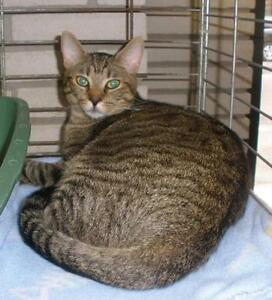 "Young Male Cat - Domestic Short Hair: ""Shyloh 15 (Abandoned)"""