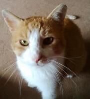 Male Cat - Domestic Short Hair - orange and white-Tabby - white
