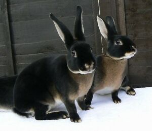 Rex Rabbits! Baby's! Cut price! Taperoo Port Adelaide Area Preview