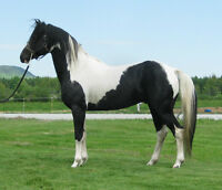 Superbe étalon paint black/tobiano en service