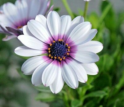 100+CAPE DAISY Flower Seeds African Wildflower Drought Tolerant Long Blooming  for sale  Wichita