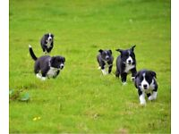 Ready to leave 11 week old family pet border collies