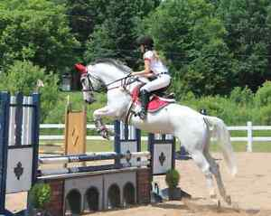 THOROUGHBRED JUMPER/ EVENTER HORSE FOR SALE!