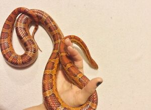 Corn snake and all supplies
