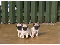 3 beautiful pug puppies for sale 1 bitch 2 dogs excellent pedigree k.c registered