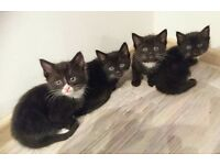 4 fluffy kittens for sale