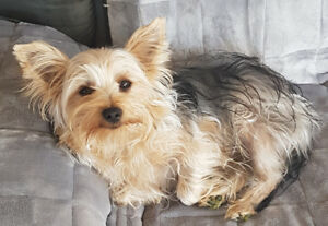 (SOLD) PUREBRED MALE YORKIE FOR SALE